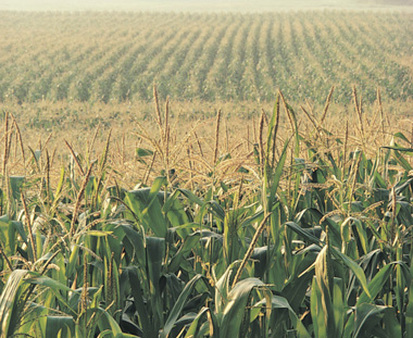 The daily price of corn is up 25% year to date. (Photo: AP)