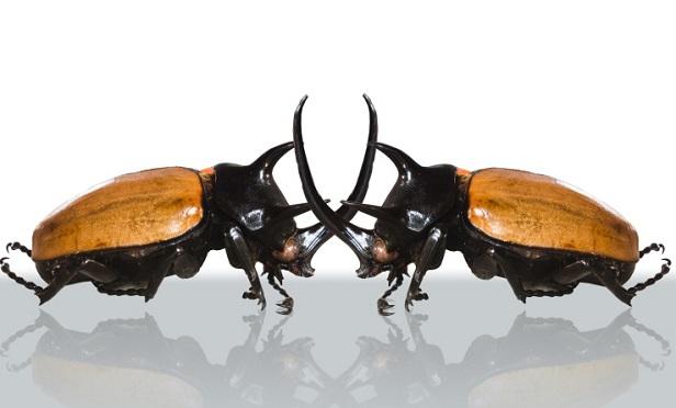 Fighting beetles (Photo: Thinkstock)