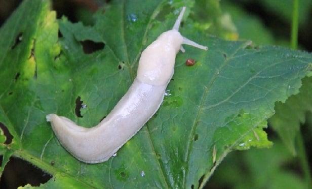 A slug (Photo: National Park Service)