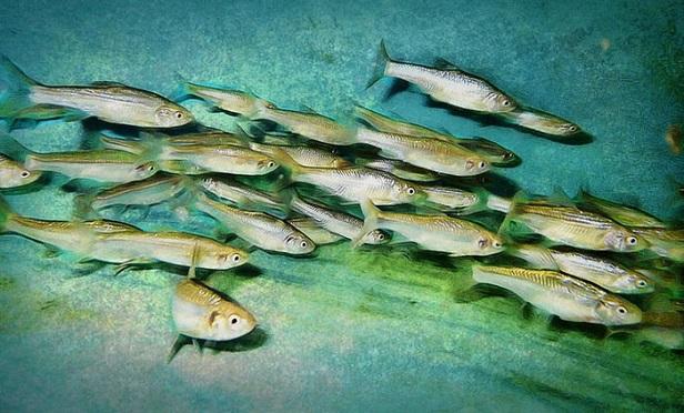 Topeka shiner fish