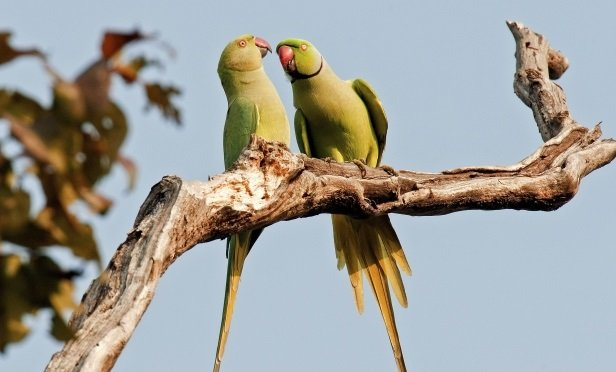 One parrot advising another parrot.