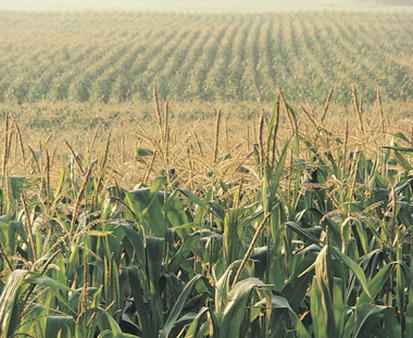 Corn and wheat rose 15% or more in the first quarter. (Photo: AP)